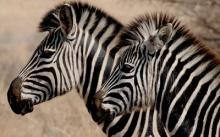 auction-zulu-safari_400x250